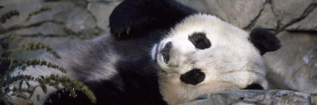 Organiser un séjour pour voir les pandas géants en Chine