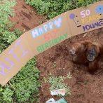 Un zoo australien célèbre le 50e anniversaire de l'orang-outan avec des collations et une bannière géante