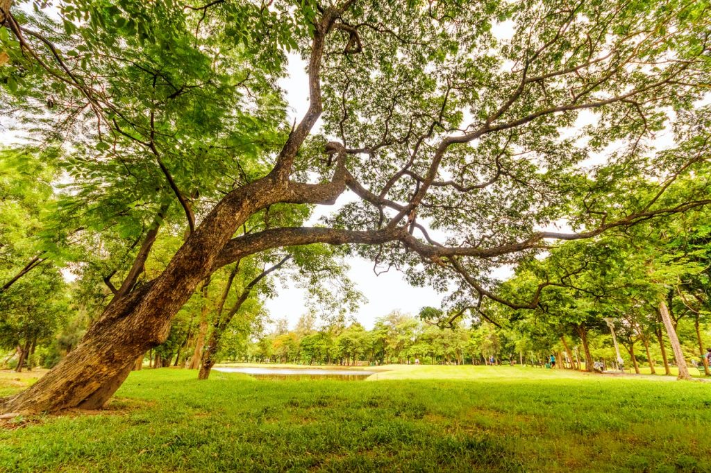 Grand chêne dans un parc