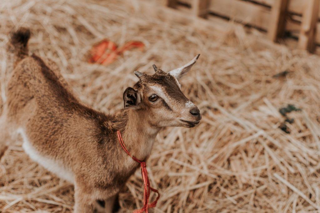 Petite chèvre marron dans une ferme, dans de la paille