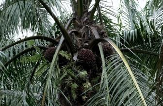 Les cookies Girl Scout liés au travail des enfants dans l'industrie de l'huile de palme