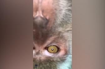 Un homme trouve des selfies de singe après qu'un primate espiègle vole un téléphone