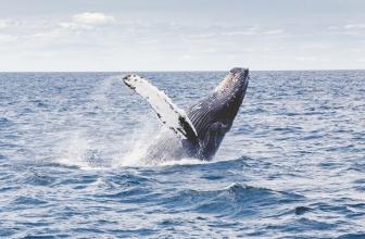 Pourquoi les baleines s'échouent-elles?