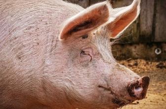 Une souche de grippe porcine à «potentiel de pandémie humaine» trouvée chez davantage de porcs chinois, selon les scientifiques
